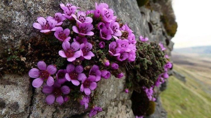 Камнеломка: посадка и уход, выращивание и размножение сорта в открытом грунте, фото, сочетание в ландшафтном дизайне
