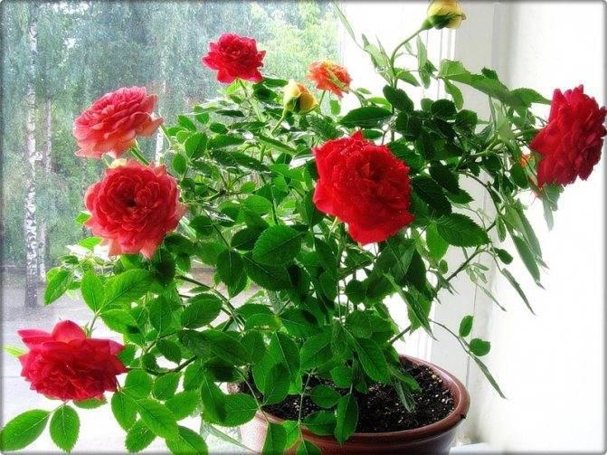 Болезни роз — описание с фотографиями, симптомы, способы лечения, меры профилактики