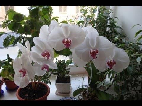Что делать, если у орхидеи засыхают бутоны: как этого избежать и помочь цветку?