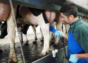 Бородавки на вымени коровы: как убрать и избавиться или бороться с бородавками, чем лечить их или что делать с болезнью и мазь для этого