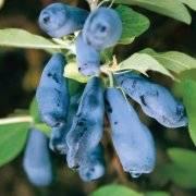 Как посадить жимолость весной саженцами - пошаговое руководство