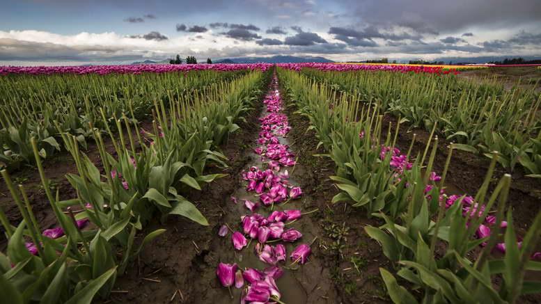 Когда можно пересаживать тюльпаны с одного места на другое?
