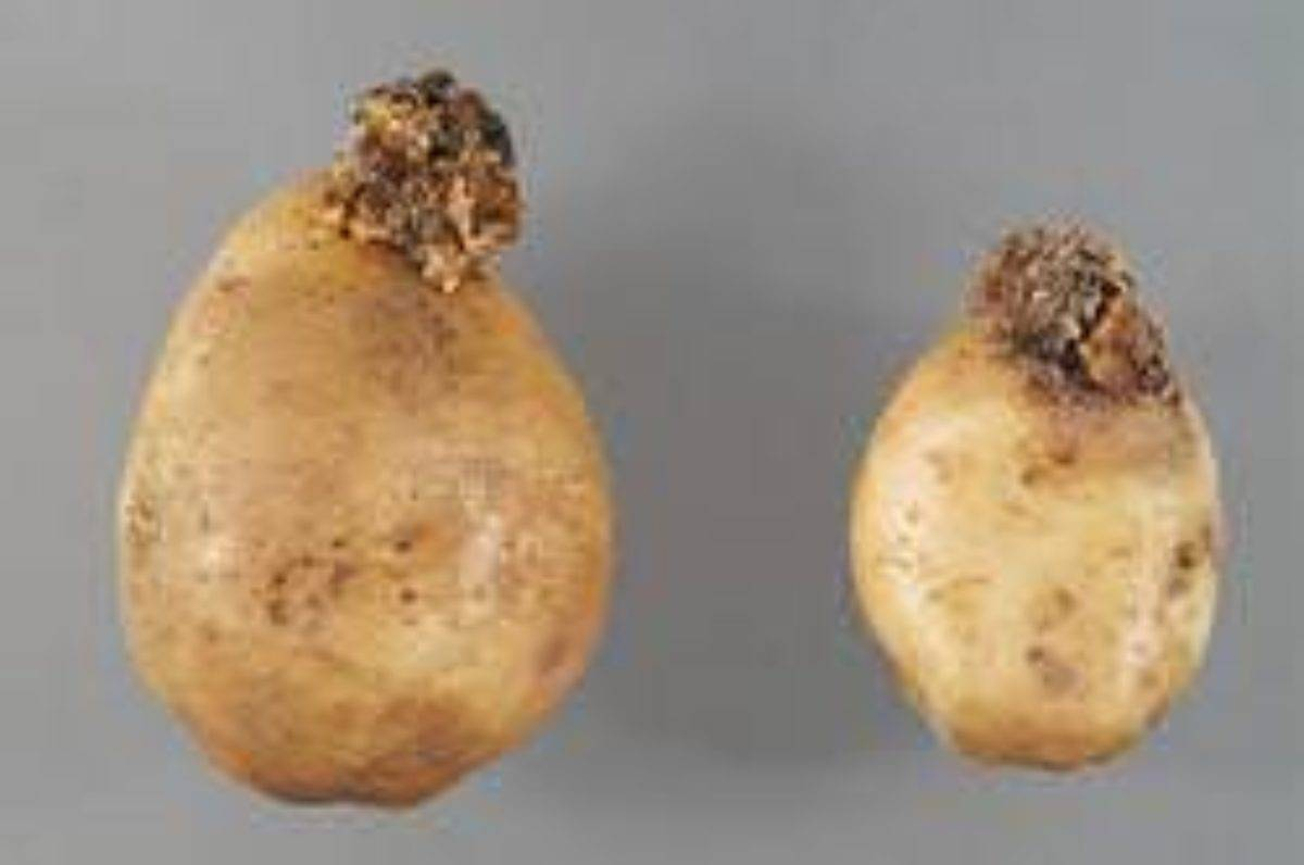 Что такое рак картофеля: причины появления и методы лечения, фото