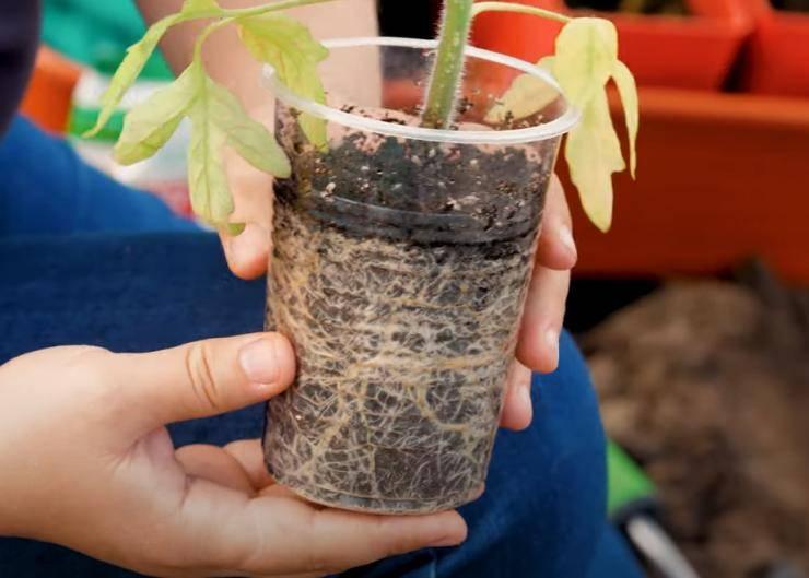 Как посадить переросшую рассаду томатов