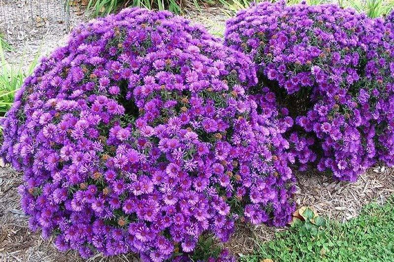 Цветы сентябринки: описание, посадка и уход фото