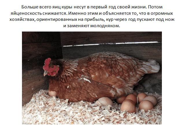 В каком возрасте индоутки садятся на яйца