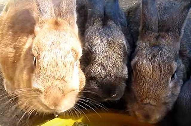 """Рацион питания кроликов: правила составления наиболее сбалансированного ао """"витасоль"""""""