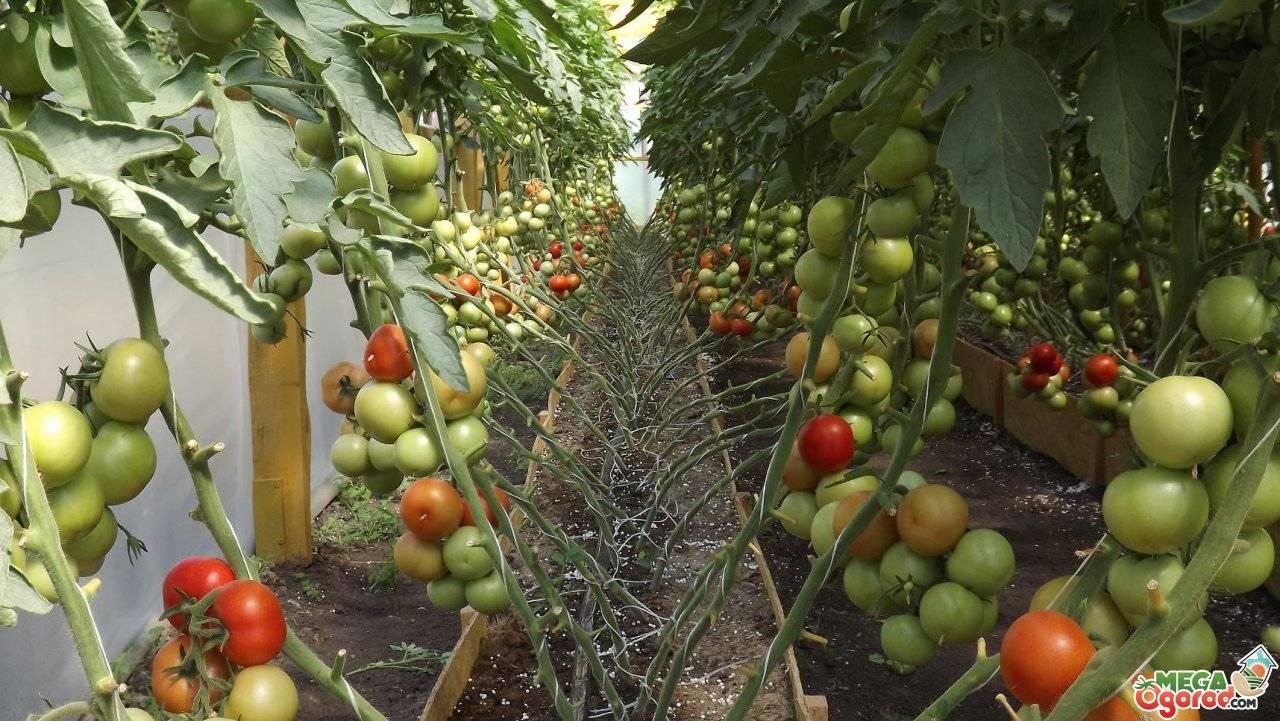 Подкормка томатов в теплице по фазам развития- удобрения, схемы
