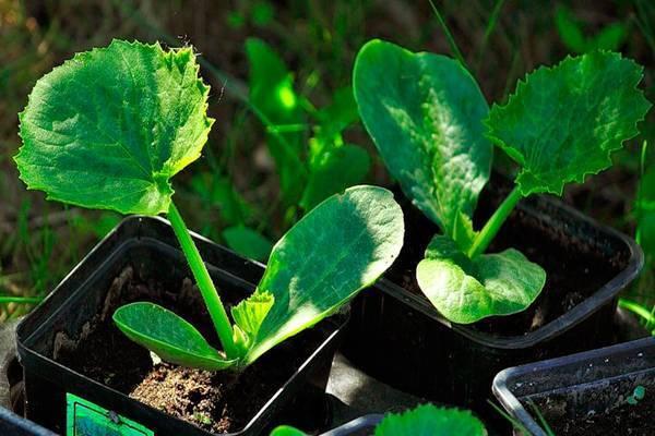 Как отличить рассаду кабачков от тыквы - раскрываем секреты
