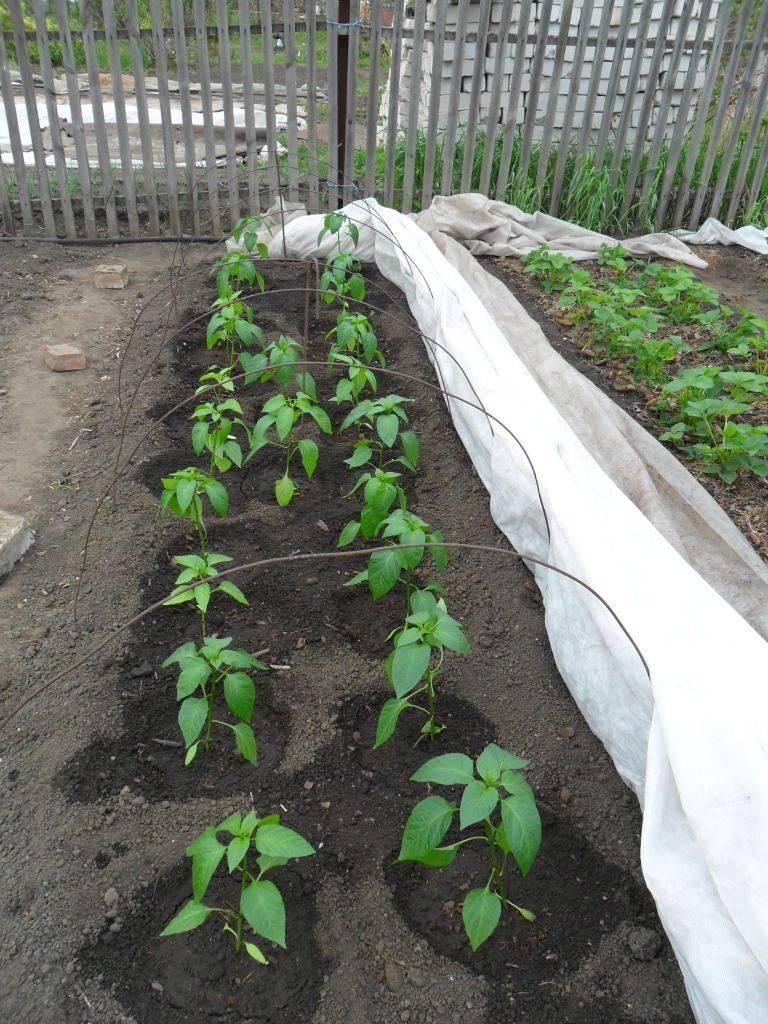 Посадка перца в теплицу из поликарбоната: создаем предпосылки для хорошего урожая