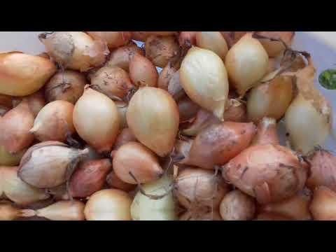 Посадка лука севка в 2020 году: когда сажать, сроки