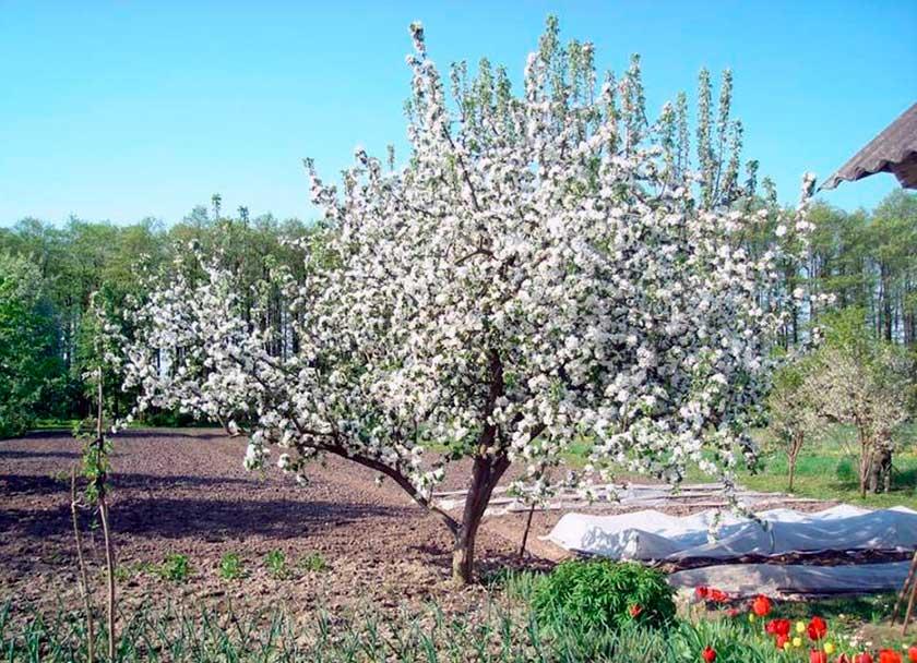 Яблоня медуница, описание, фото, отзывы, посадка