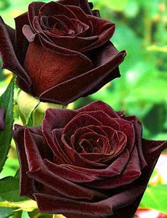Как укрывать розы на зиму в сибири правильно фото виде советы