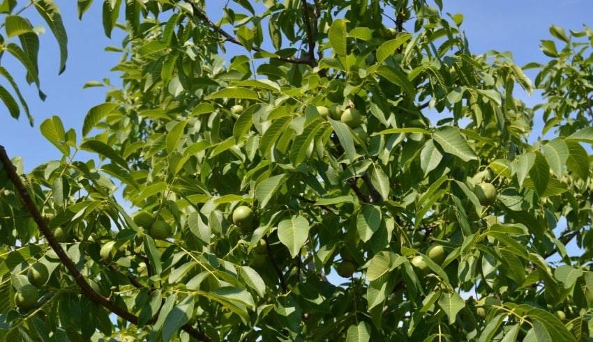 Обрезка грецкого ореха
