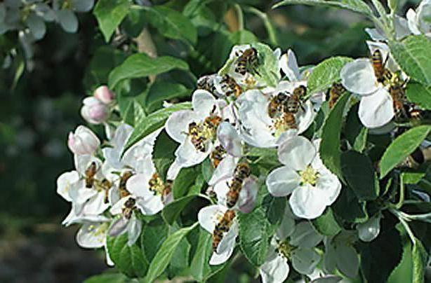 Сорта яблонь для сибири: их фото с названием и описанием, а также посадка и уход