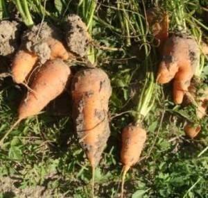Морковное масла в косметологии и ароматерапии