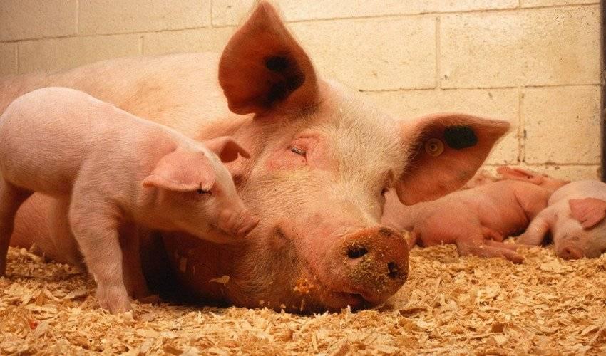 Таблица кормления свиней: нормы рациона, питательность кормов