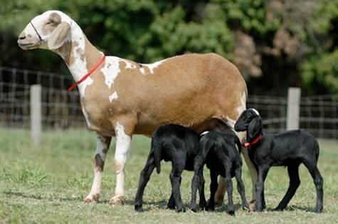 Порода овец суффолк: описание и характеристика - домашние наши друзья