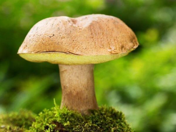 Полубелый гриб (boletus impolitus): фото, описание и как его готовить