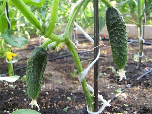 Рекомендации для увеличения урожая: как подвязывать огурцы в теплице