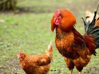 Как определить несется курица или нет? несколько действенных способов определить несушку