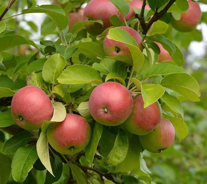 Яблоня мечтательница: особенности сорта и ухода