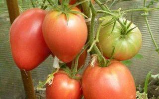 Томат - мазарини: характеристика и описание сорта, отзывы, фото, урожайность