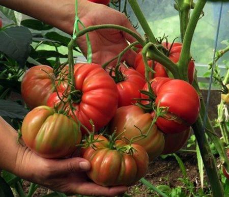 Топ-10 лучших сортов томатов для теплиц – рейтинг 2020 года