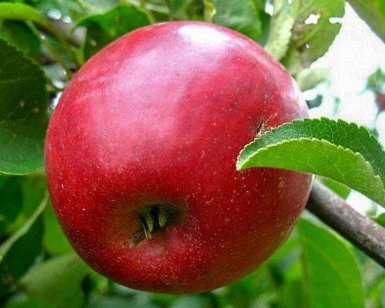 Яблоня «коваленковское»: описание сорта и уход