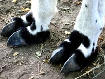 Как правильно обрезать копыта у коз
