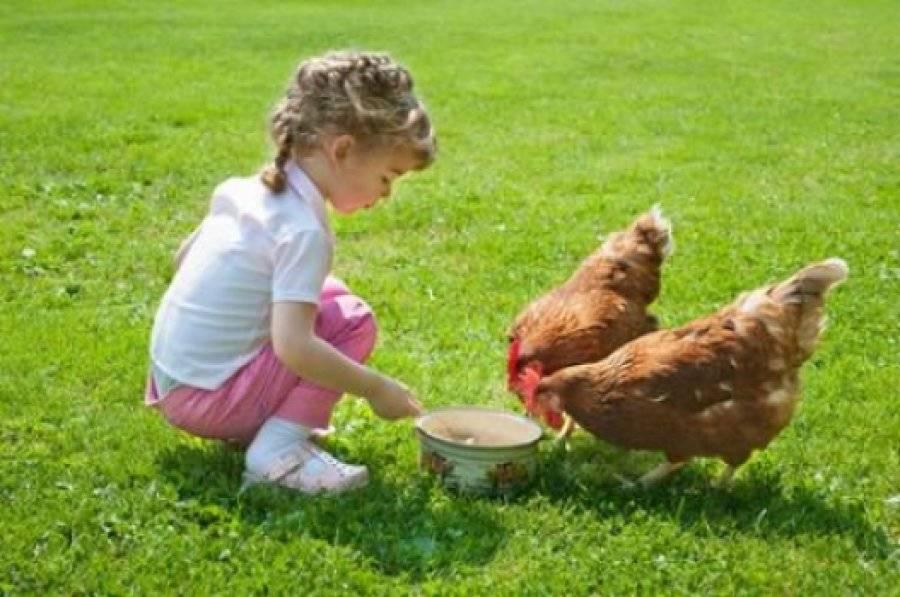 Чем лучше всего кормить кур-несушек?