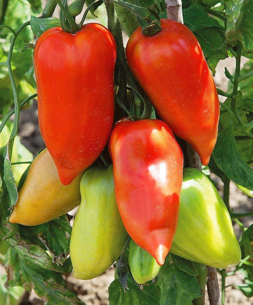 Томат корнабель: описание сорта, фото, отзывы томат корнабель: описание сорта, фото, отзывы