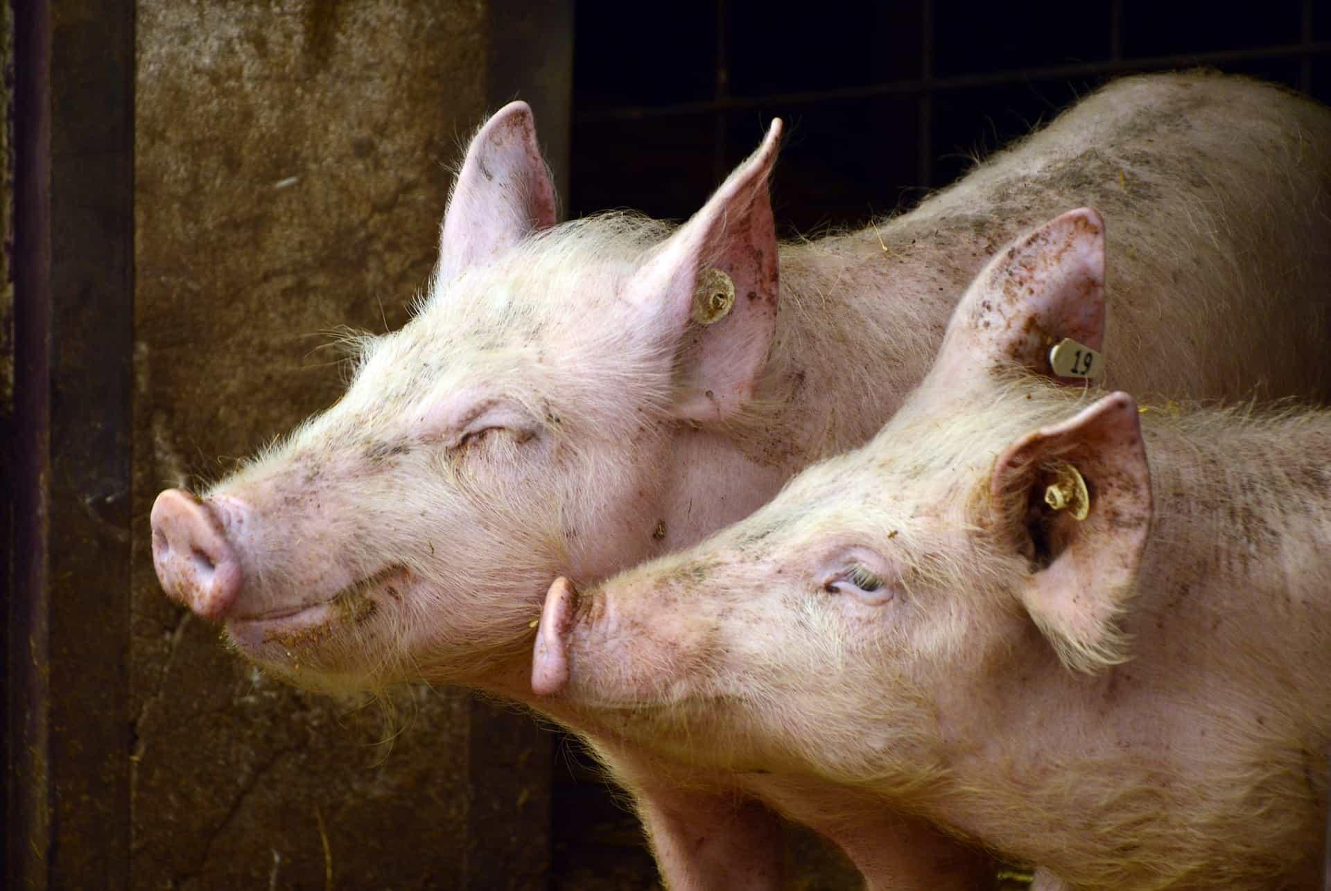 Какая порода свиней самая выгодная для выращивания – дачные дела