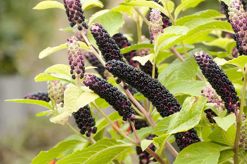 Что такое лаконос и как его выращивать