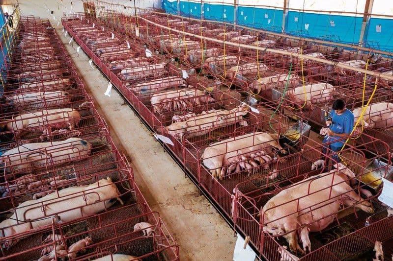 Свинарник (57 фото): план сарая для свиней, строительство своими руками загона для поросят, проект на 100 голов