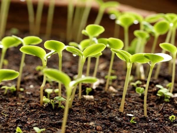 Баклажаны: выращивание и уход в открытом грунте и теплице из поликарбоната