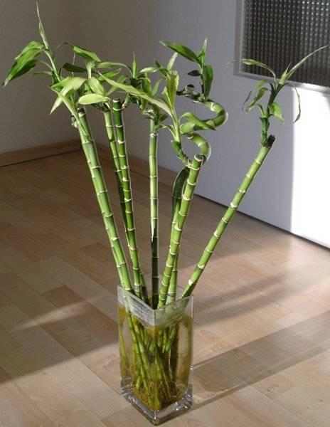 Драцена Сандера: фото, размножение, уход в домашних условиях