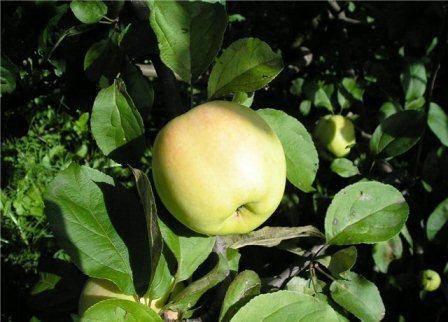 Сорт яблони уральское наливное: описание, фото
