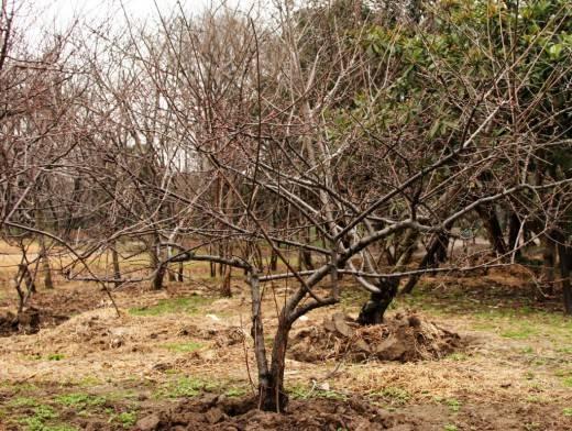 Обрезка вишни - правила и техника обрезки фруктовых деревьев (видео + 95 фото)