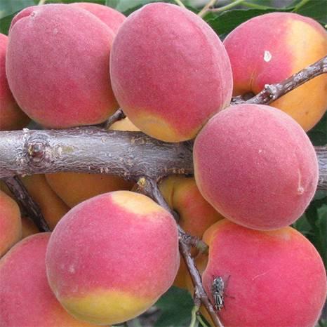 Сорт абрикоса саратовский рубин: описание с фото, выращивание и уход, отзывы