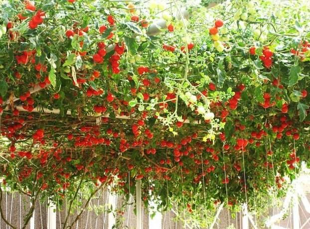 Помидорное дерево: описание, посадка, выращивание и уход в открытом грунте с фото