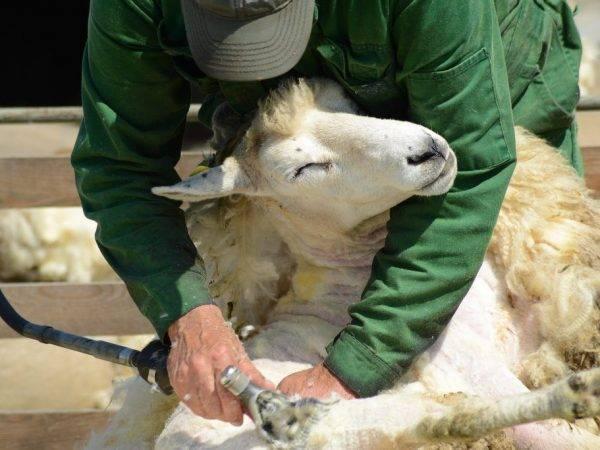 Ножницы для стрижки овец и их виды, особенности ручной стрижки