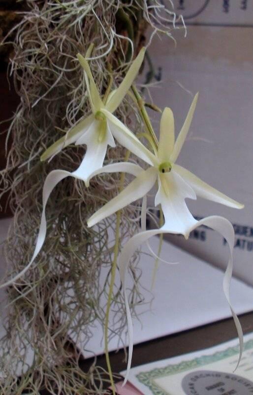 Орхидея призрак (дендрофилакс линдена): описание, фото и особенности ухода за необычным растением в домашних условиях