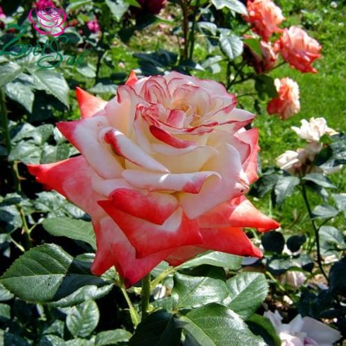 Роза императрица фарах, описание сорта, особенности посадки и выращивания