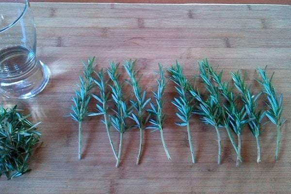 Розмарин: выращивание в открытом грунте и в квартире, размножение