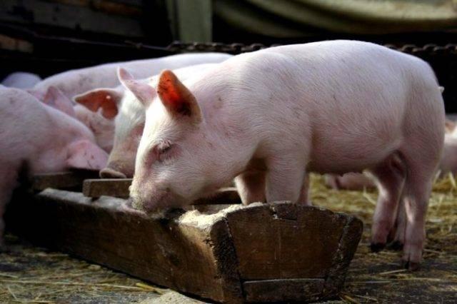 Кормление свиней сухим кормом: описание
