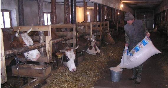 Искусственное осеменения коров, способы осеменения