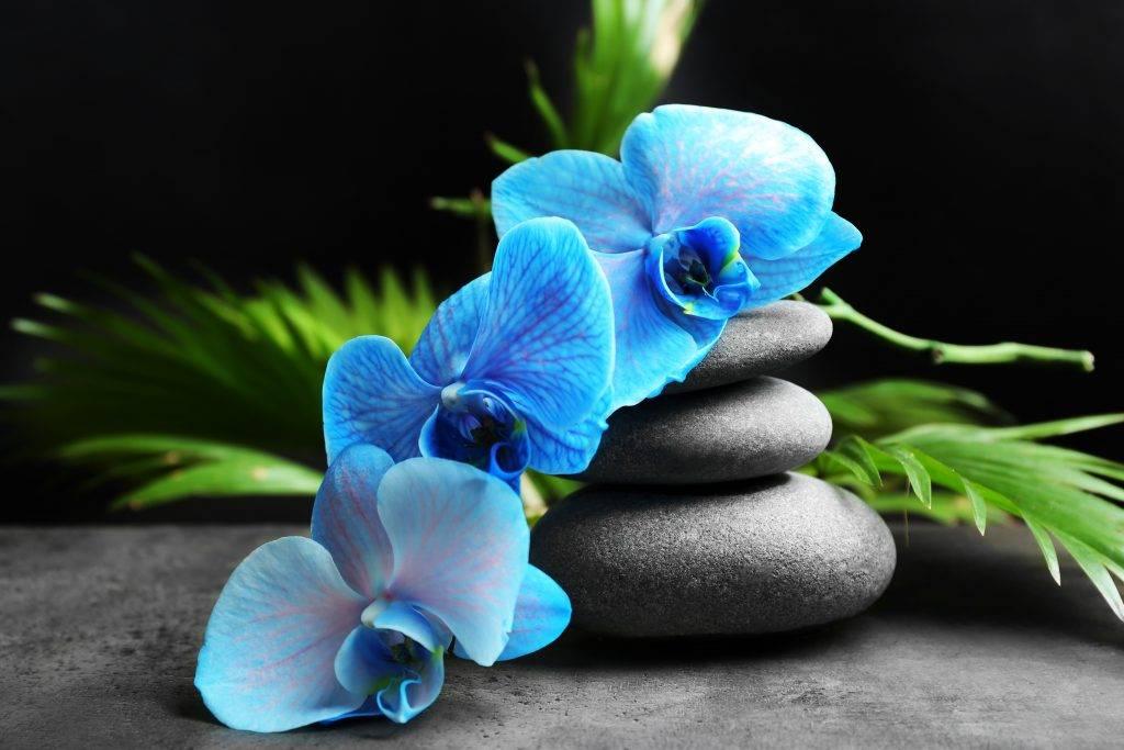 Синие и голубые орхидеи: существуют ли в природе, в чем секрет необычного цвета, уход за крашеным фаленопсисом