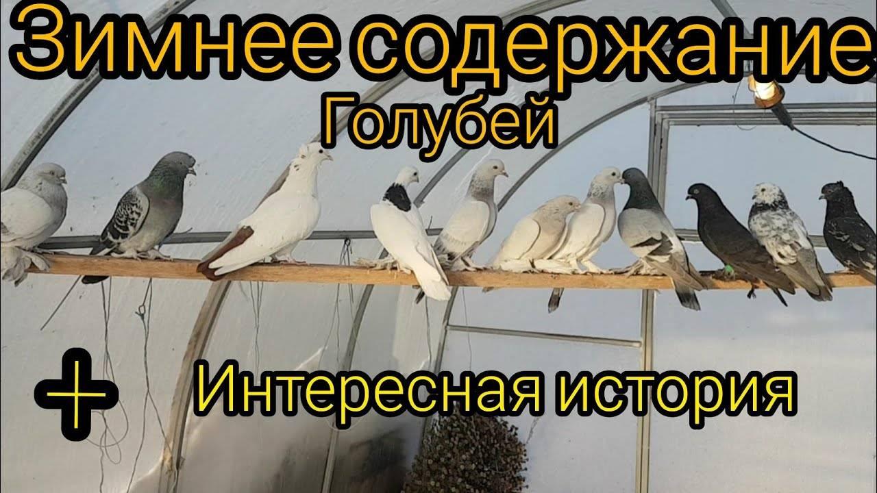 Домашние голуби: содержание, воспитание и дрессировка голубей (90 фото + видео)