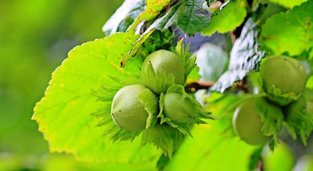 Орех фундук: посадка и уход в открытом грунте